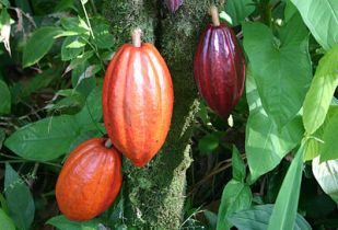 Economic growth has been spurred by the resumption of cocoa production. (Image source: Wikimedia Commons)